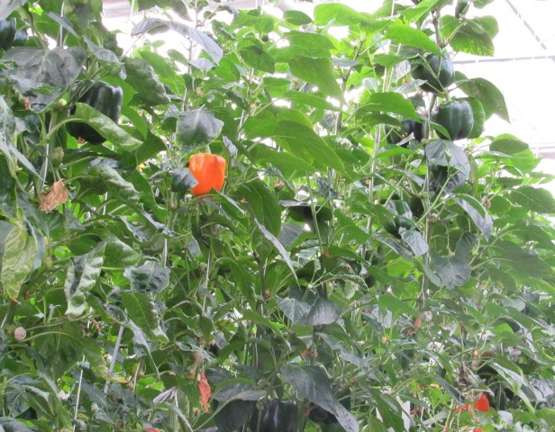 A beautiful bell pepper!