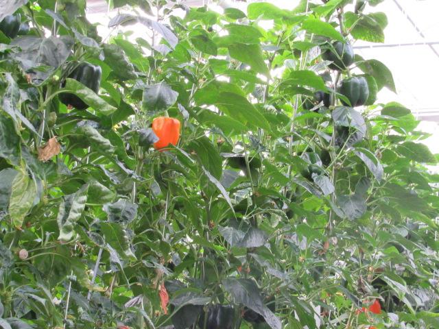 A beautiful bell pepper!