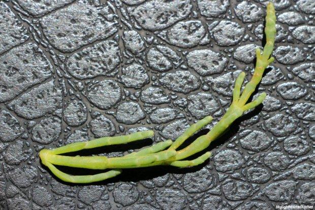 salicornia1
